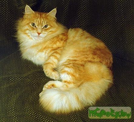 Сибирская кошка живой уголок он лайн