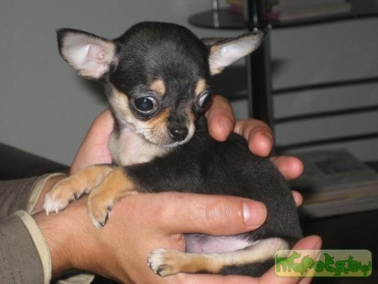 Chihuahua самая маленькая порода собак