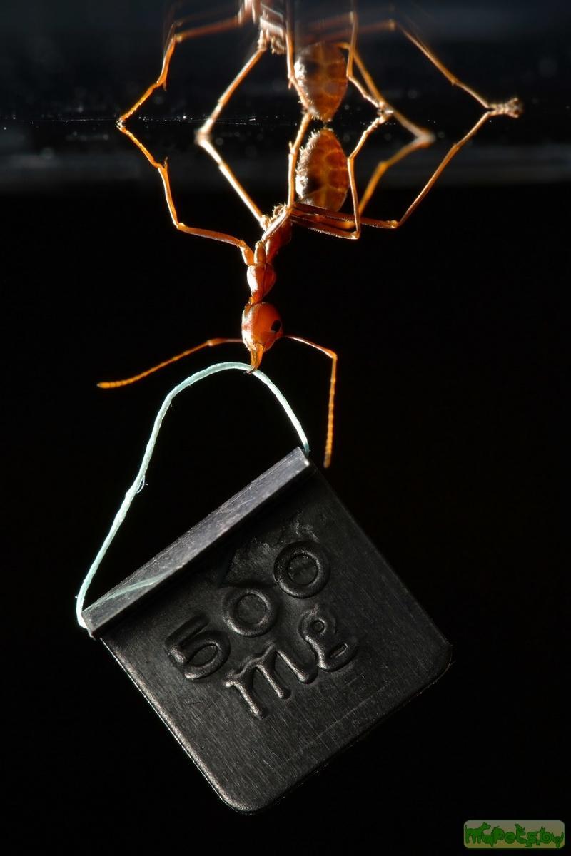 Муравей, удерживающий вниз головой груз весом 500 мг. Источник фото: Thomas Endlein