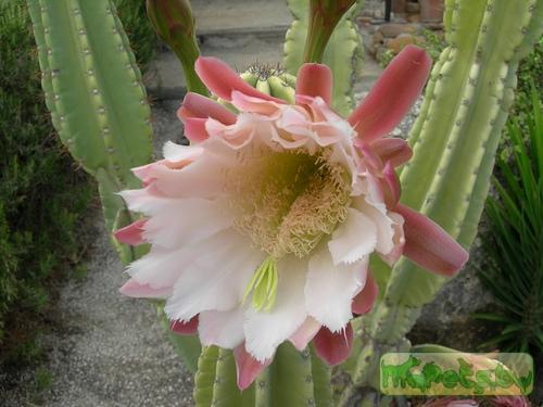 Обширный род кактусов, объединяет 46 видов и множество разновидностей.