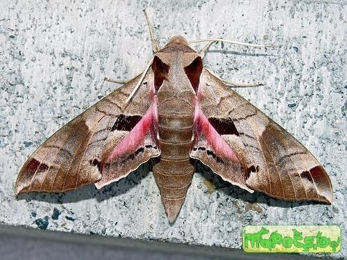 Eumorpha achemon