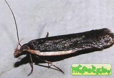 Nothris lemniscella