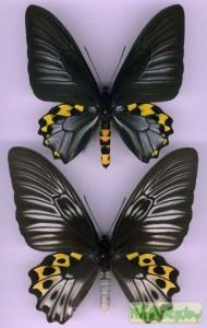 Troides hypolitus (Троидес ипполит)