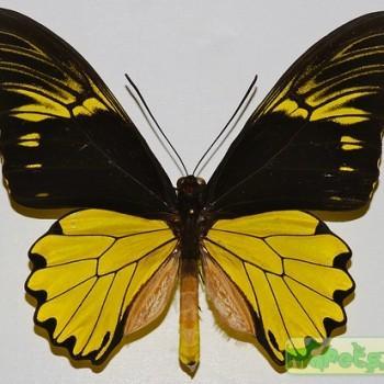 Troides amphrysus