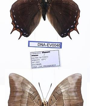 Charaxes opinatus