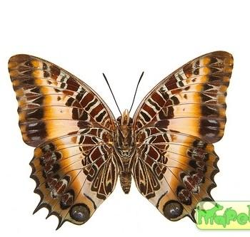 Charaxes pollux