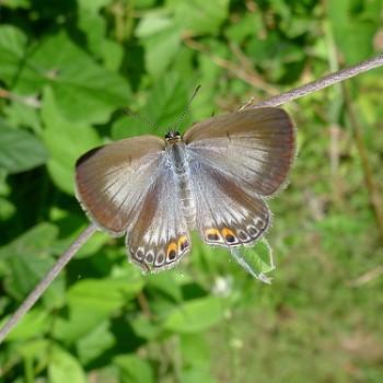 Euchrysops cnejus