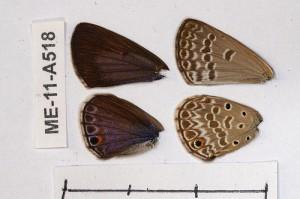 Euchrysops subpallida
