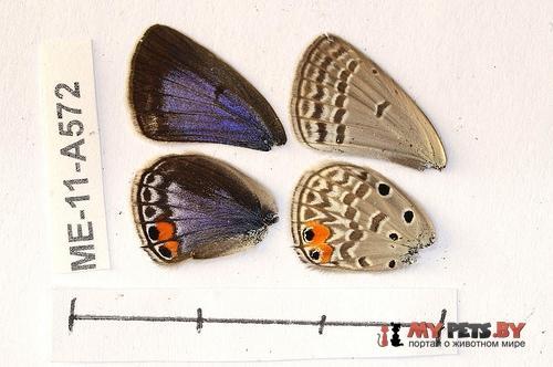 Euchrysops osiris