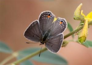 Euchrysops malathana
