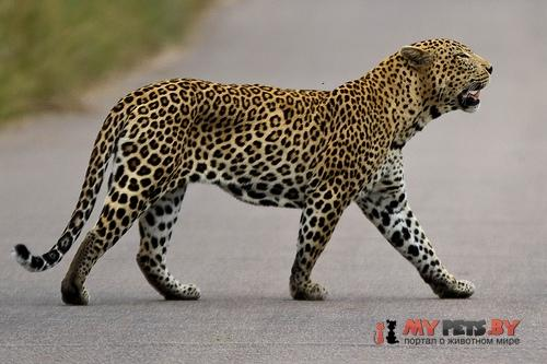 Panthera Pardus, Леопард