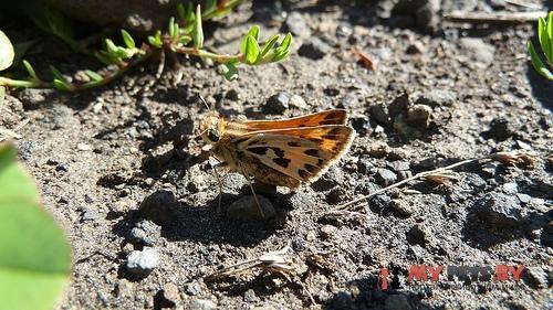 Hylephila fasciolata