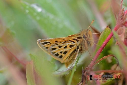 Hylephila pallisteri