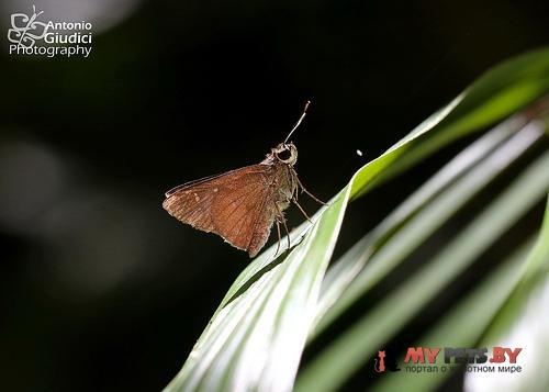 Hyarotis microsticta