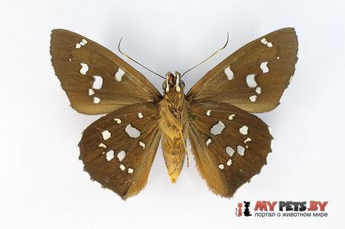 Bungalotis erythus
