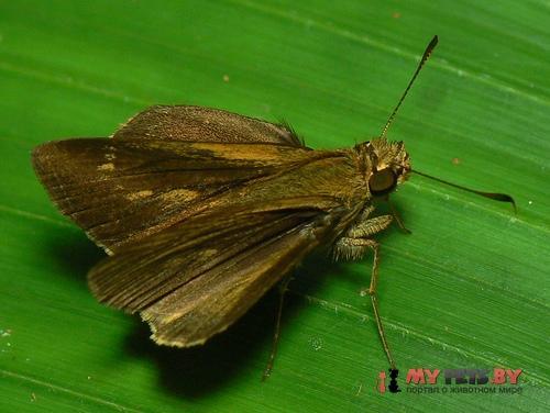 Mnasilus allubita