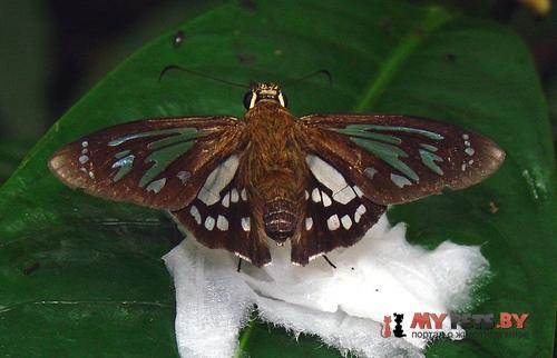 Phanus ecitonorum