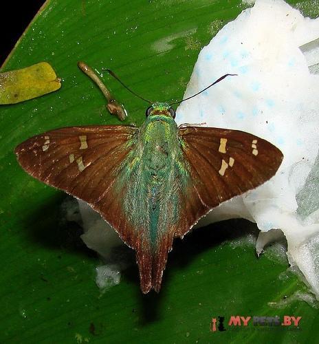 Polythrix metallescens
