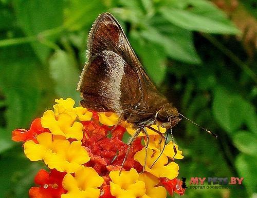 Remella vopiscus