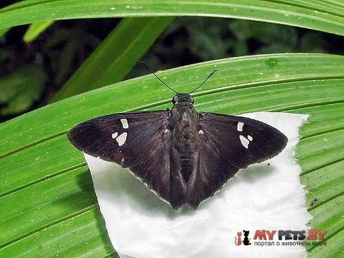 Chrysoplectrum epicincea