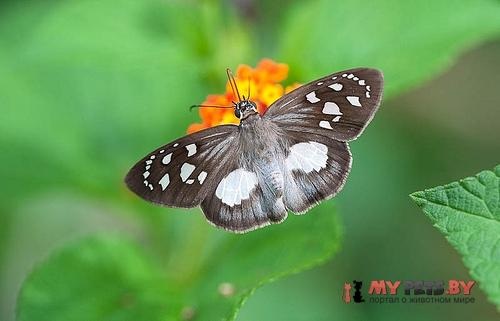 Hyalothyrus leucomelas