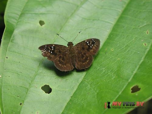 Celaenorrhinus monartus