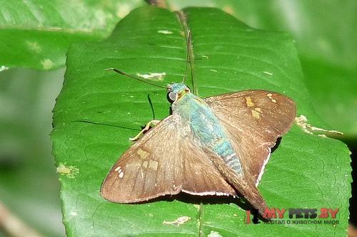 Polythrix auginus