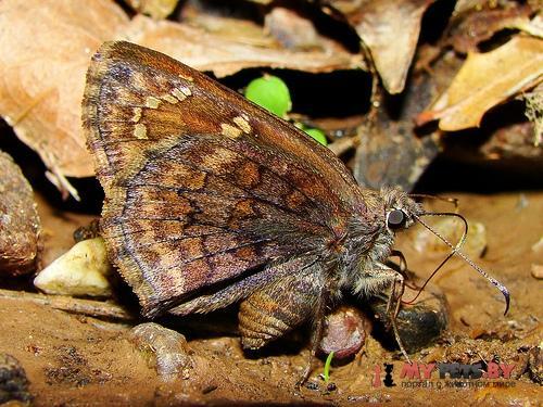 Codatractus valeriana