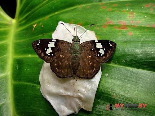 Celaenorrhinus bifurcus