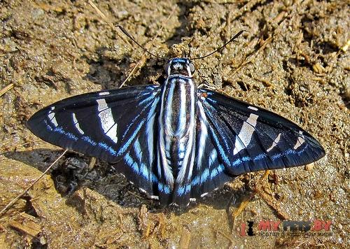 Phocides thermus