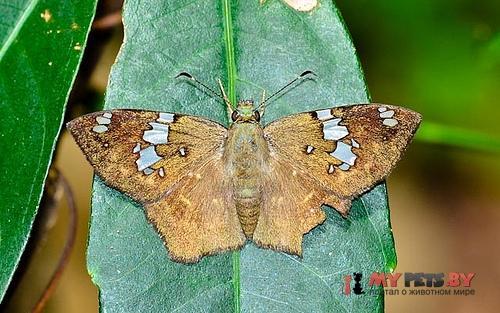 Celaenorrhinus similis