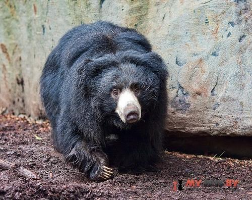Медведь-муравьед