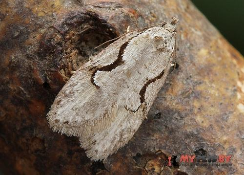 Semioscopis packardella