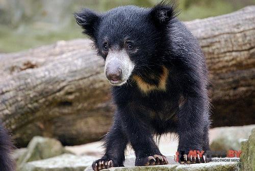 Stickney bear