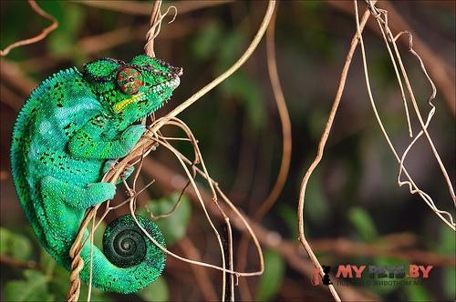 Леопардовый хамелеон