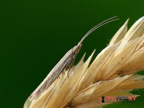 Coleophora saxicolella