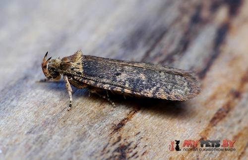 Agonopterix conterminella