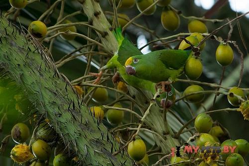 Тонкоклювый попугай золотоголовый