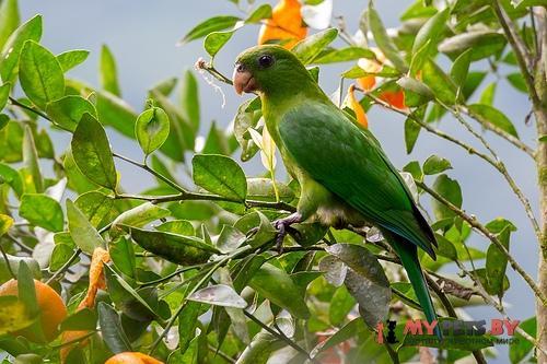 Синебрюхий попугай