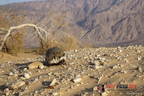 Пустынный еж