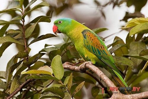Большеклювый попугай синешапочный