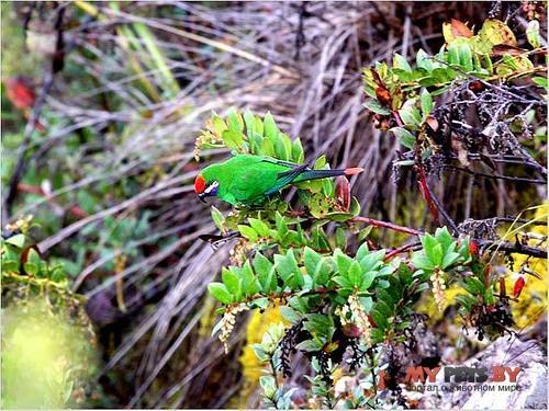 Новогвинейский горный лори
