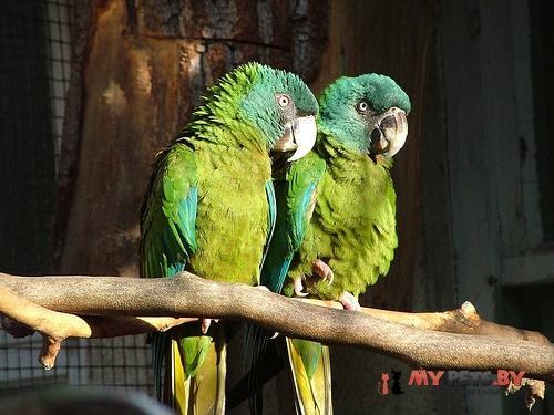Синеголовый ара