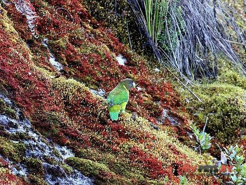 Ленточный попугай буроголовый