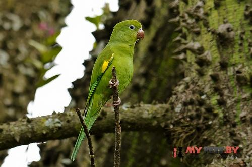Тонкоклювый попугай желтокрылый