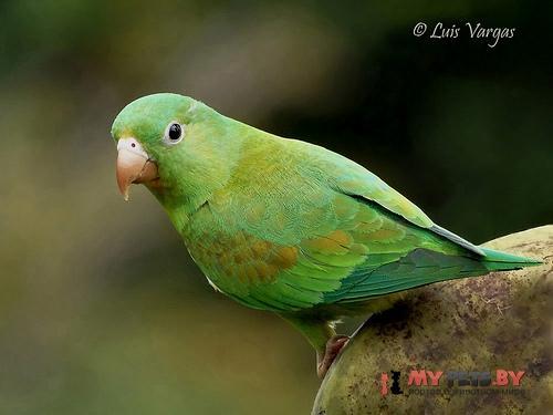 Тонкоклювый попугай оранжевогорлый