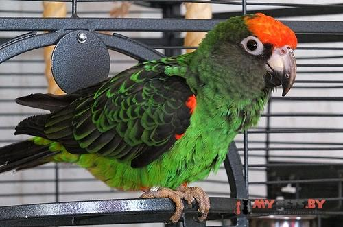 Длиннокрылый попугай коголезский