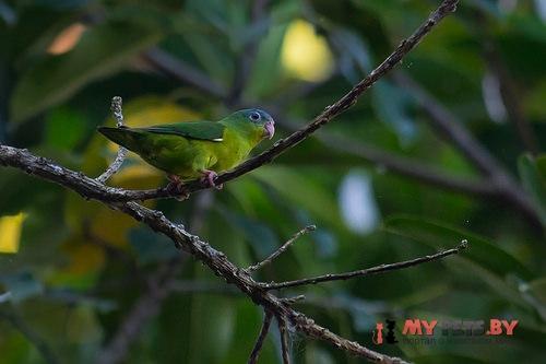 Зелёный воробьиный попугайчик амазонский