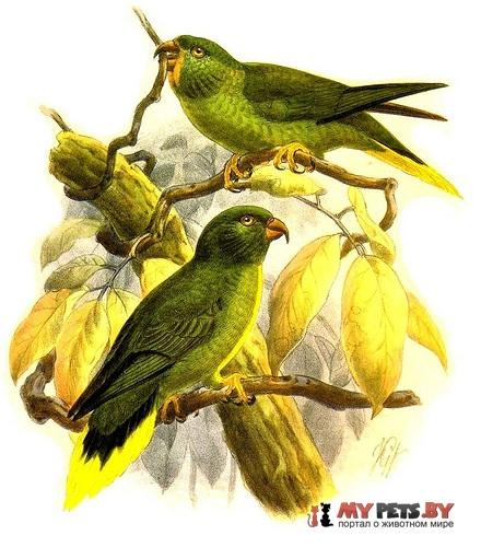 Charmosyna palmarum