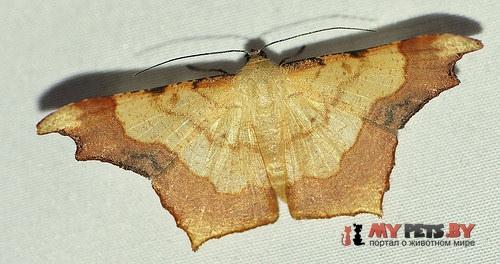 Zeheba aureata